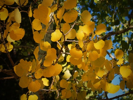 Aspen Gold -- The gold of the aspen leaves in autumn invokes memories of the rich gold mines that once crowded the mountains around Cripple Creek, Colorado