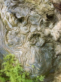 Old Man Tree -- Face of bark, beard of moss... do you see me?